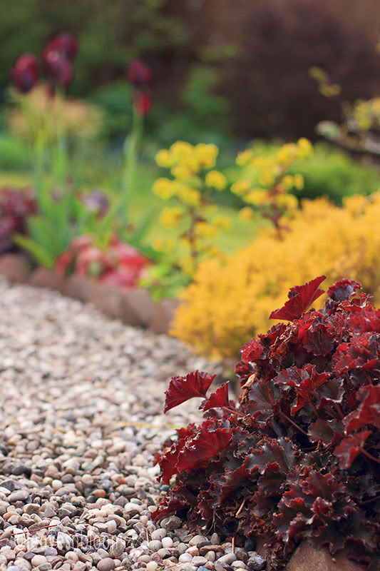 Heuchera Curly Red​ ​with its rippled red leaves