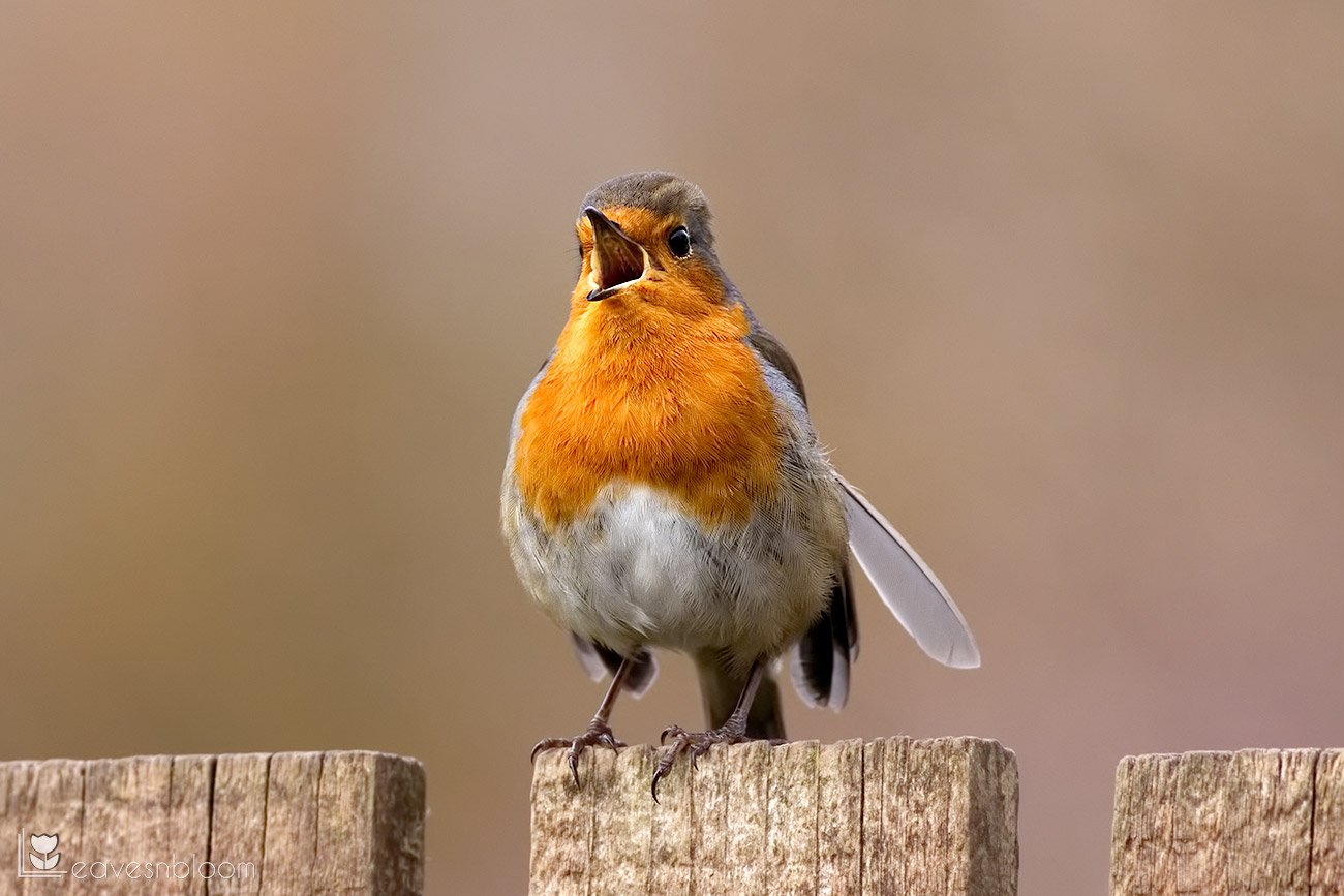 photographing garden birds - a robin singing on the fence
