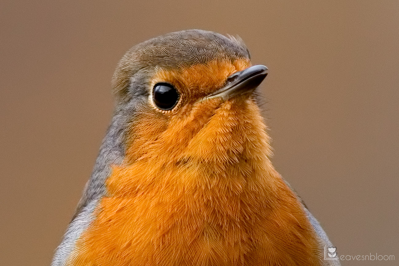 a close up of the feather detail on a robin