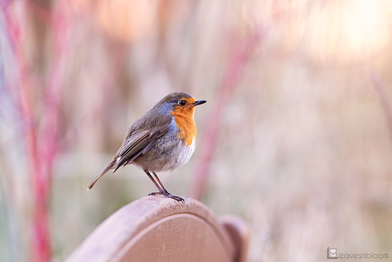 photographing garden birds - a robin standing on a garden bench