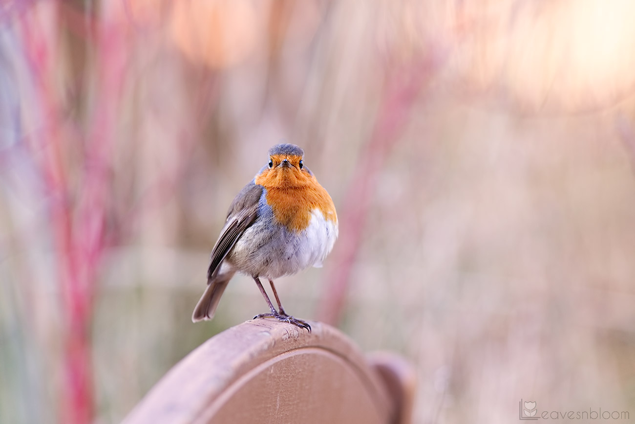 photographing garden birds - a robin looking at you