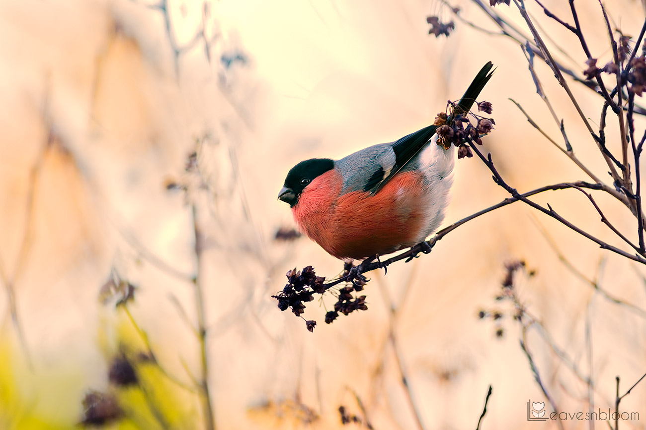 male bullfinch feasting on physocarpus seedheads