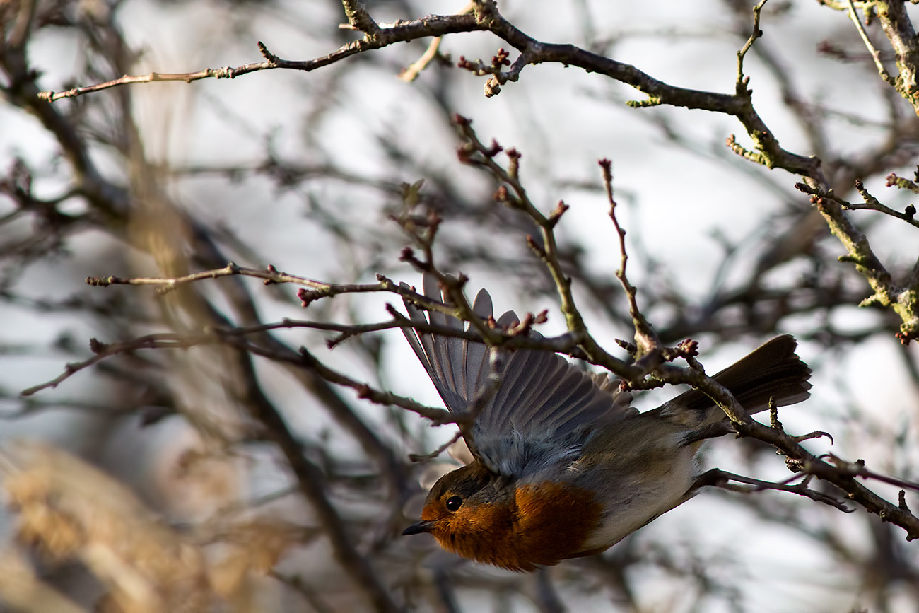 a robin in flight