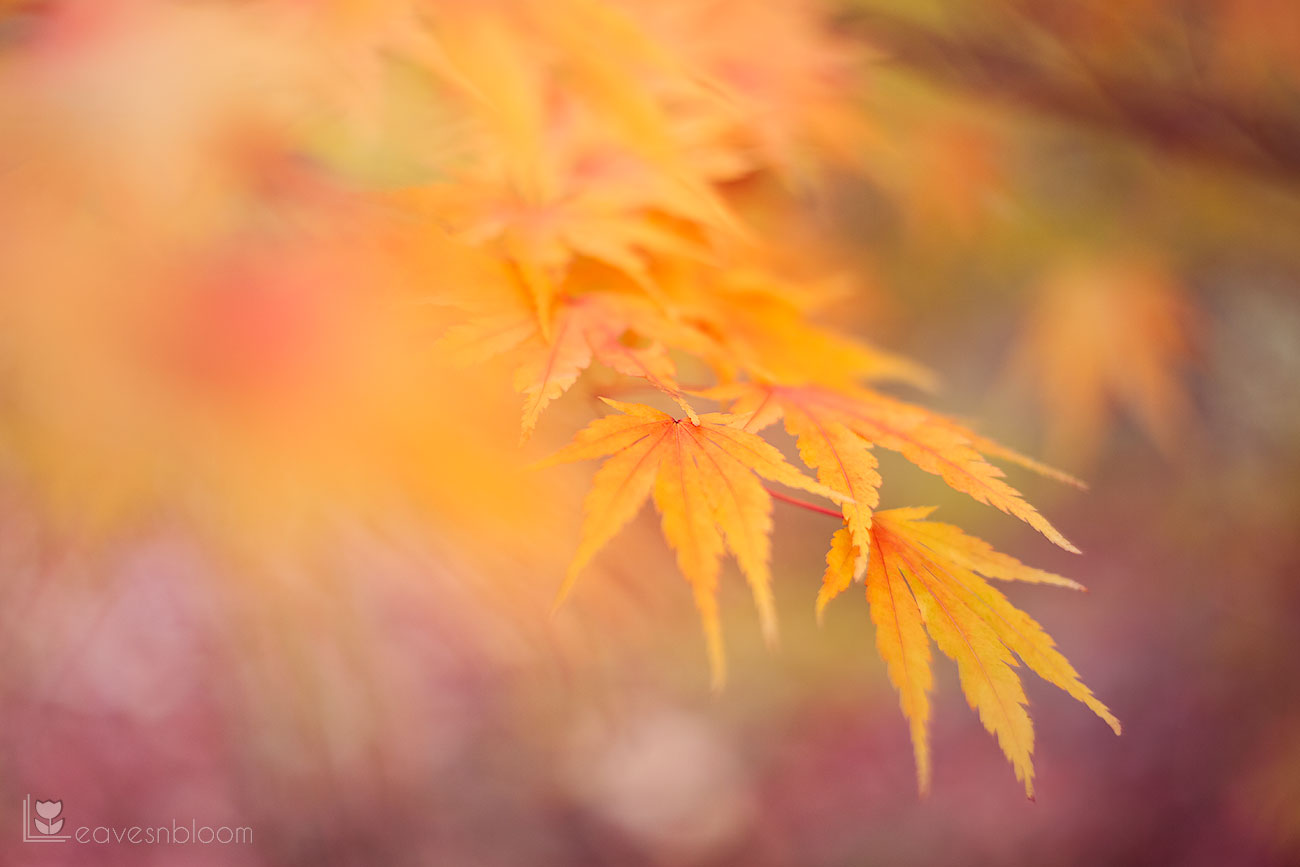 golden acer leaves at Scottish National Heritage Battleby
