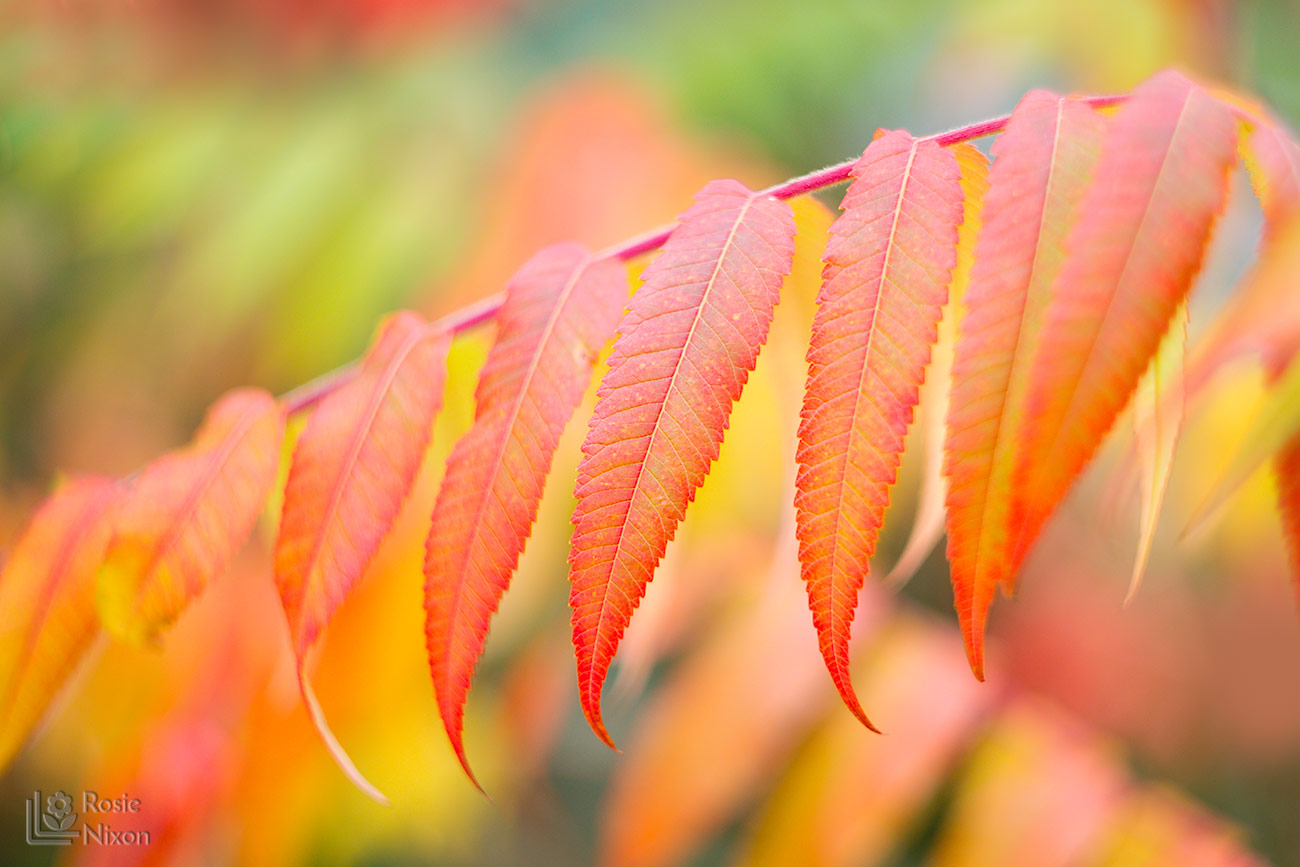 toothed edges of a rhus leaf / Stag's horn sumach In Autumn