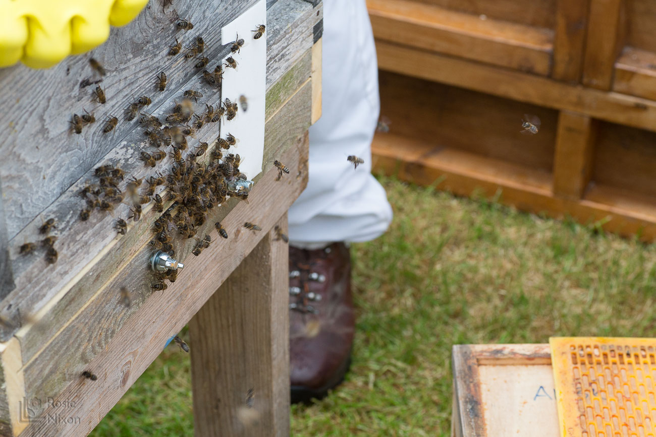 female worker bees arriving at the hive - bee happy ayr beekeepers gardening scotland