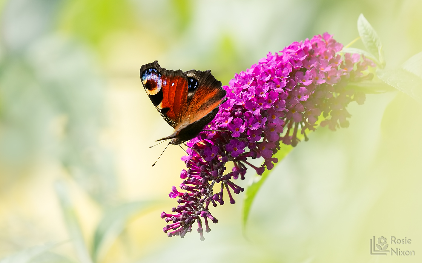 A peacock butterfly drinking nectar from a butterfly bush in summer.